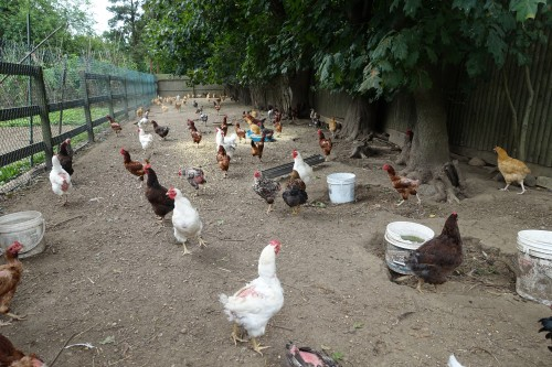 Peter's Free Roaming Cage Free Chickens who only eat organic food!